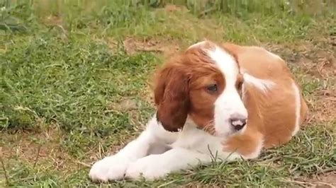 irish setter dog youtube irish red and white setter shadow dog puppies youtube