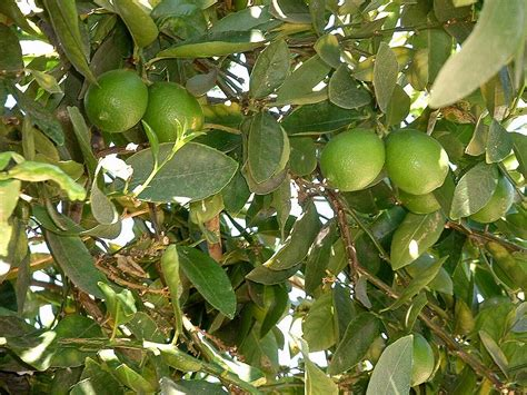 lime fruit trees lime tree pictures images photos facts on lime trees