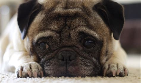 adoptable pugs why you should adopt a pug adopt a pug today