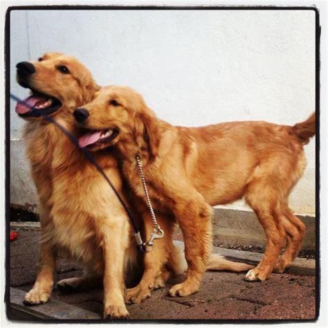 loving golden retriever golden retriever golden retrievers