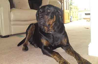 rottweiler cross great dane puppies for sale is the great dane rottweiler mix much for families to handle