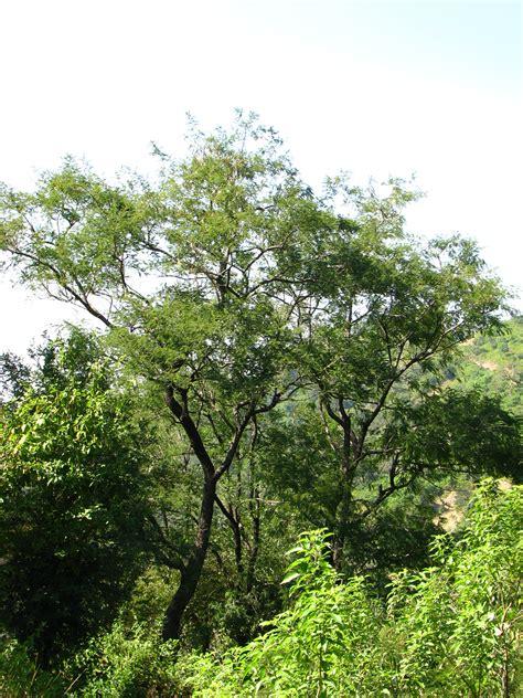 trees of morni khair morni hills