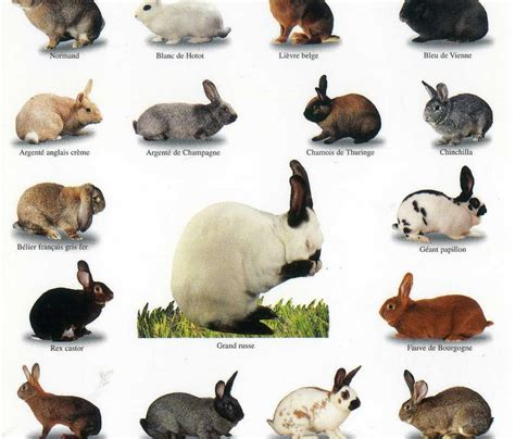 rabbit color calculator rabbit guide is everything about rabbit for everybody
