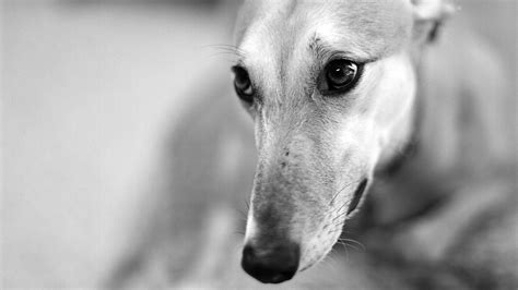 greyhound wallpaper 50 free hd dog wallpapers