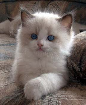 2 ragdolls better than 1 1000 images about pet pics i like board on