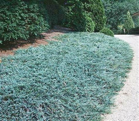 blue rug juniper ground cover blue rug juniper okanagan xeriscape association