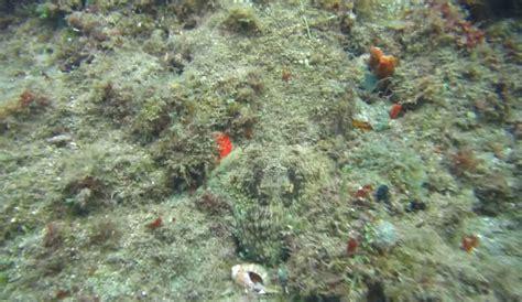 amazing camouflaged octopus  sea life