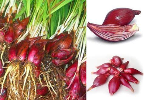Obat Herbal Bawang Dayak 8 manfaat bawang dayak untuk meningkatkan vitalitas