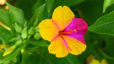 fiore di notte mirabilis jalapa color evolution ernesto cortazar