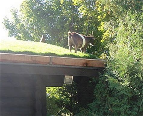 Goats On Roof Door County by 16 Best Images About Mackinac Island Door County On