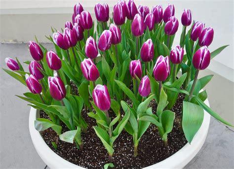 come piantare i tulipani in vaso come coltivare i tulipani non sprecare