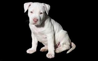 the best pit the 300 best pitbull names for your new puppy
