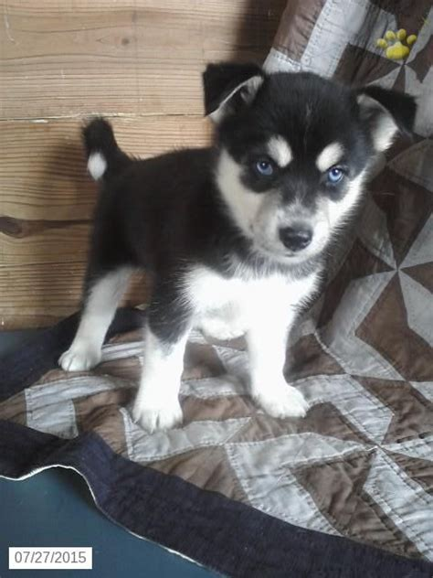 miniature husky puppies for sale the world s catalog of ideas