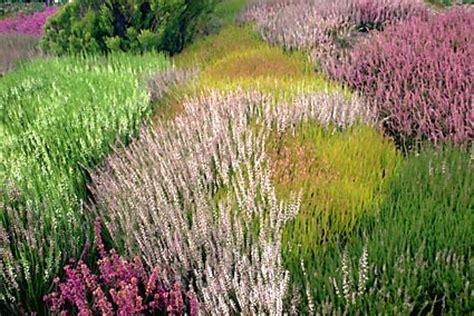 canula fiore vuoi un tocco di colore al tuo giardino anche d