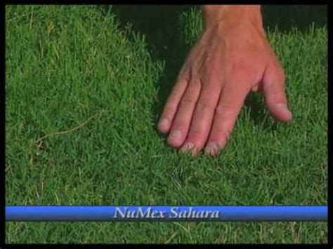 how to grow couch grass how to grow bermudagrass youtube