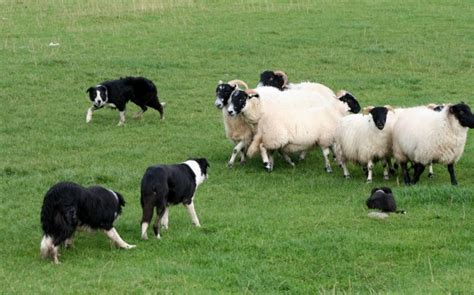 how to a to herd sheep the herding dogs dirt simple