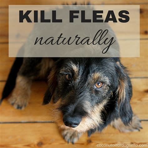 what can i buy to kill fleas in my house home coconut oil for dogs