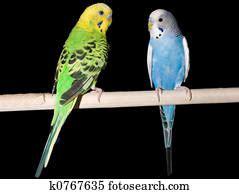 undulated grass parakeet stock image  fotosearch