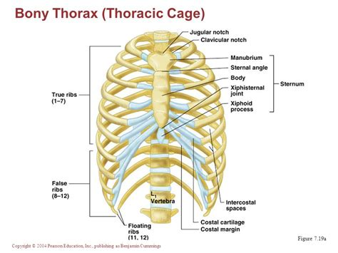 thoracic cage diagram the skeleton part a axial skeleton ppt
