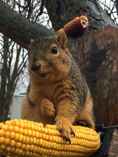 let me see you do the squirrel 25 best ideas about fat squirrel on pinterest funny
