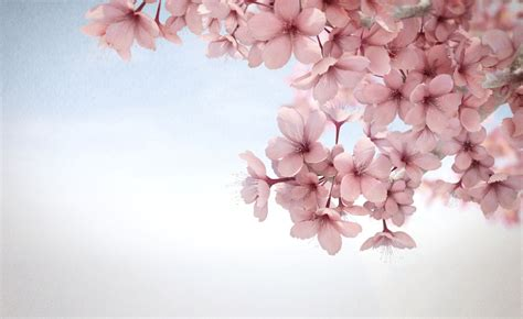 wallpaper bunga sakura for android sakura wallpaper hd wallpapersafari