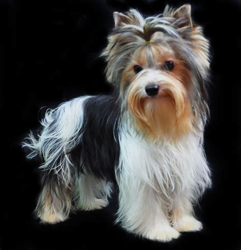 parti color yorkie parti color yorkie poss my next yorkies