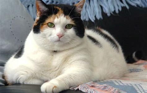 imagenes de animales gordos gatos gordos obesidad y sedentarismo salud de gatos