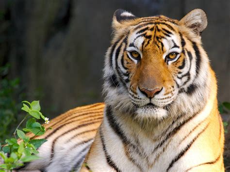 wallpaper binatang buas harimau animal planet