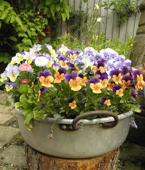 Little Pot Of Pansies Life Color Boquet And Plants Pansy Garden Ideas
