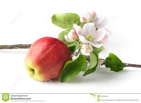 apple wallpaper white flower apple flowers and ripe red apples stock photo image