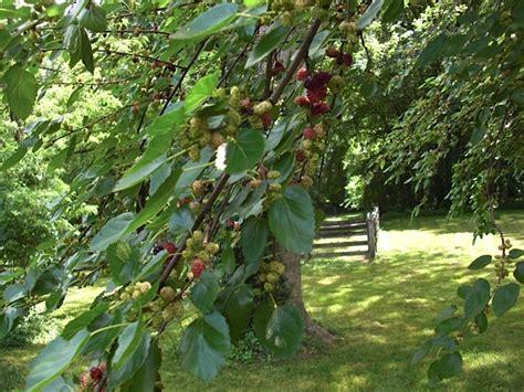 maryland fruit trees mulberry tree images