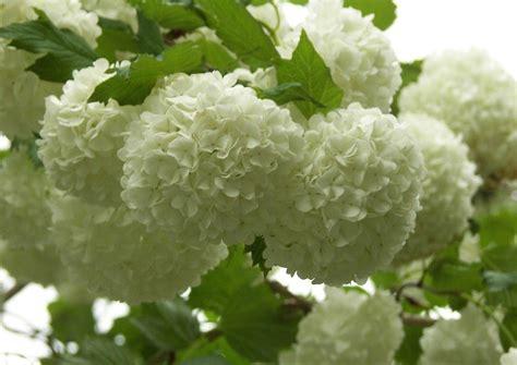 vorhänge weiss mit blumen viburnum opulus roseum der schneeball strauch