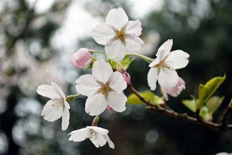 melo da fiore prezzo melo da fiore malus alberi melo da fiore malus