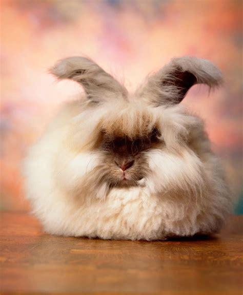 16 Angora Rabbits That Really Need a Haircut (16 Pics