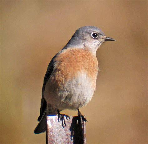 western bluebird ebirdr
