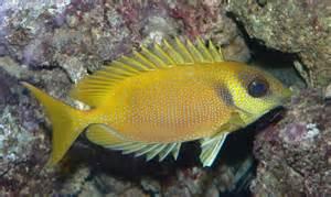 Fish S Rabbitfish Fishes