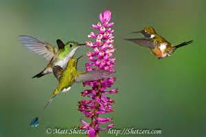 are hummingbirds color blind hummingbird medicine doowans news events