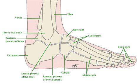 foot diagram anatomy ankle ligaments diagram pics ankle diagram