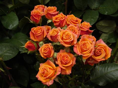 Orange Floral King Sprei mambo spray roses all year orange flowers spray roses sprays and orange