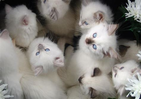 ragdoll breeders ragdoll cat breeders australia ragdoll kittens for sale