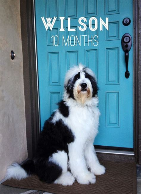sheepadoodle puppies nc sheepadoodle wilson more breeds picture