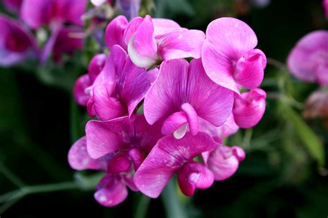 Low Light Camera free picture pink sweet pea flowers