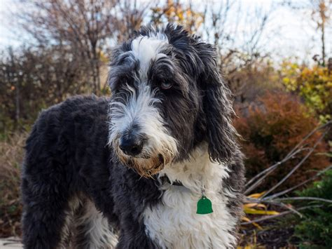 shepherd doodle puppies for sale view ad aussiedoodle puppy for sale colorado montrose usa