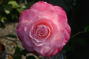 camellia flowers world