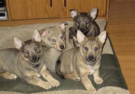 vallhund puppies swedish vallhund puppies for sale akc puppyfinder