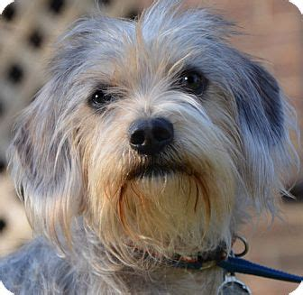 yorkie and dotson mix smokey urgent adopted staunton va yorkie terrier dachshund mix