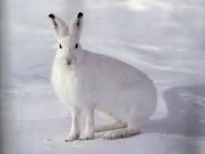 rabbit symbolism a message spirit animal totems