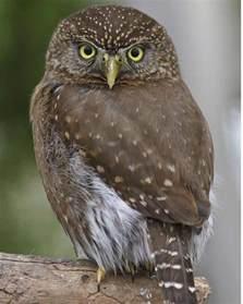 sorco owls