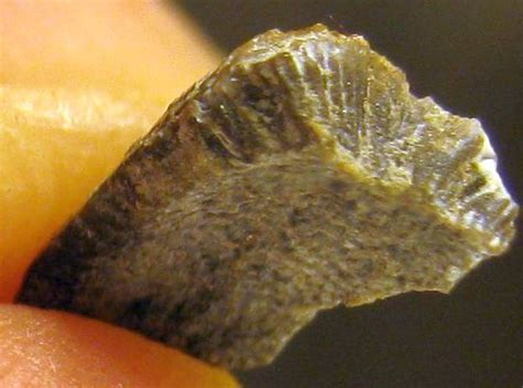 Fossil Vikers Series 01lsf1126 paleozoic shark tooth fossil id the fossil forum