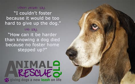 fostering a fostering with arq animal rescue qld inc